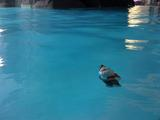 dishonor gnome swimming in the pool